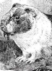 Detail: 1886 The Guinea Pig by Harrison Weir