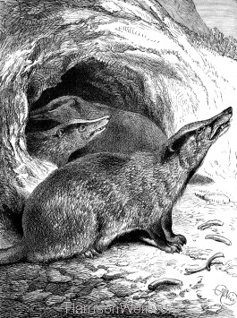 1891 Badger and Young, by Harrison Weir
