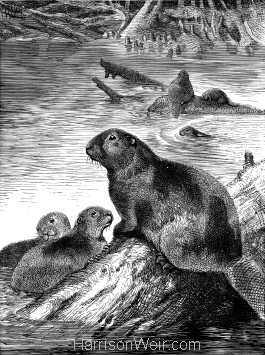 1891 Beaver and Young, by Harrison Weir