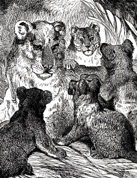 Detail: Felidae Family, by Harrison Weir