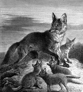 1873 Fox and Young, by Harrison Weir