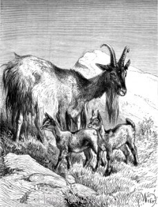 1891 Goat and Kids, by Harrison Weir