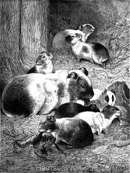 1891 Guinea-Pig and Young, by Harrison Weir