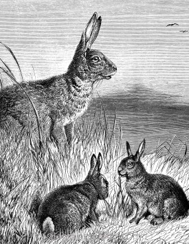 Detail: Hare and Young, by Harrison Weir