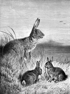1891 Hare and Young, by Harrison Weir