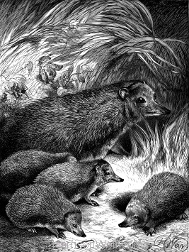 1891 Hedgehog and Young, by Harrison Weir