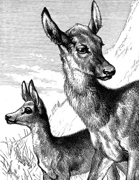 Detail: Hind and Fawn, by Harrison Weir