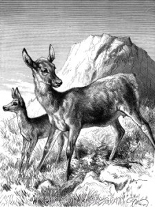 1891 Hind and Fawn, by Harrison Weir