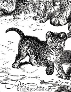 Detail: Leopard and Cubs, by Harrison Weir