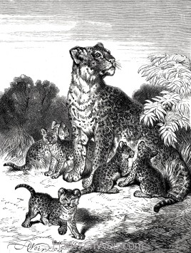 1891 Leopard and Cubs, by Harrison Weir