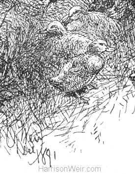 Detail: Ducks, by Harrison Weir