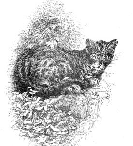 1891 Old English Cat, by Harrison Weir