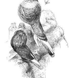 1891 Pouter Pigeons, by Harrison Weir