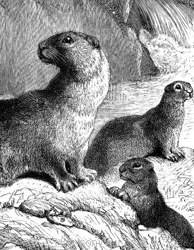 Detail: Otter and Young by Harrison Weir