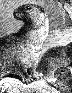 Detail: Otter and Young, by Harrison Weir