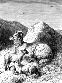 1872 Sheep and Lambs, by Harrison Weir