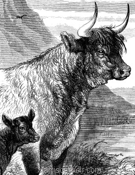 Detail: West Highland Cow and Calf, by Harrison Weir