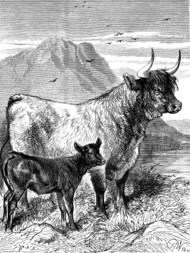 1891 West Highland Cow and Calf, by Harrison Weir