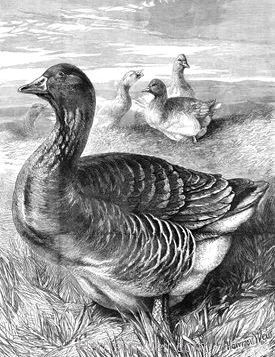 1902 The Noble Goose by Harrison Weir