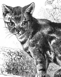 Detail: Cat and Leveret, by Harrison Weir