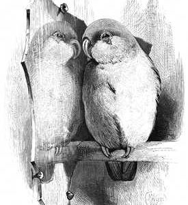 1868 Lovebird and Mirror by Harrison Weir