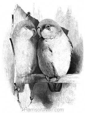 1868 Lovebird and Mirror by Harrison Weir