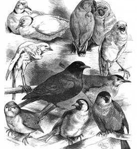 1884 Doves Canary Finch Loverbirds, Blackbird Titmouse Bullfinch by Harrison Weir