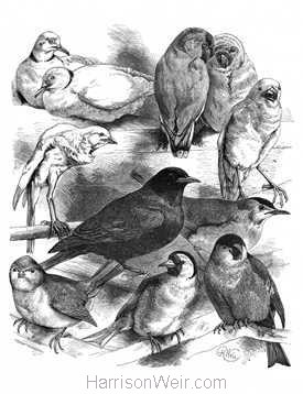 1884 Doves Canary Finch Loverbirds, Blackbird Titmouse Bullfinch by Harrison Weir