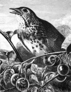 1870 Thrush In Song by Harrison Weir