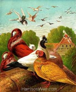 1877 The Pigeons by Harrison Weir