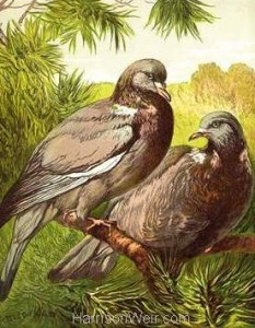 1877 Wood Pigeons by Harrison Weir