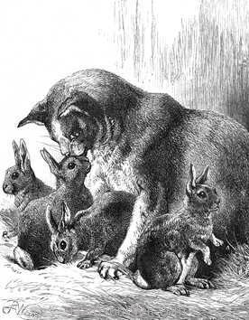 1878 An Extraordinary Family Cat raising rabbits drawn by Harrison Weir