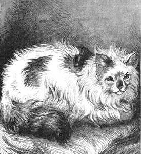 1880 Angora Cat drawn by Harrison Weir
