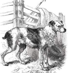 1858 Drover's Dog by Harrison Weir