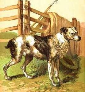 1866 Drovers Dog in Colour by Harrison Weir