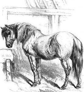 1858 Suffolk Punch by Harrison Weir