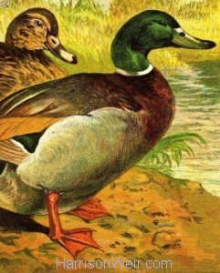 Detail: 1877 The Ducks and Drakes by Harrison Weir
