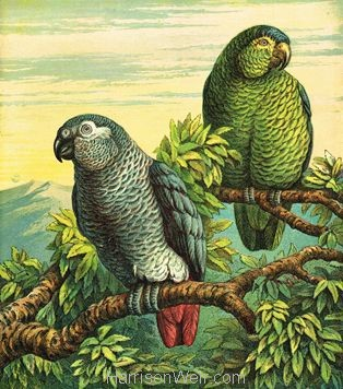 1872 The Parrots by Harrison Weir