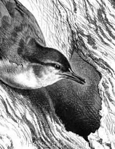 Detail: c1868 Nuthatch and Nest by Harrison Weir