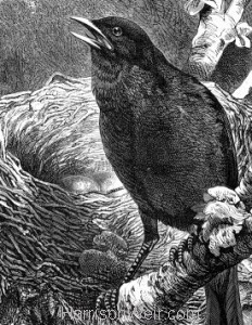 Detail: c1868 Blackbird and Nest by Harrison Weir