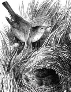 Detail: c1868 Chiff-Chaffs and Nest by Harrison Weir