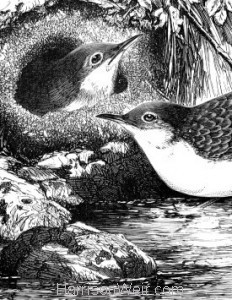 Detail: c1868 Dippers and Nest by Harrison Weir