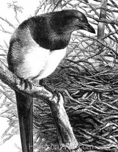 Detail: 1868 Magpie and Nest by Harrison Weir