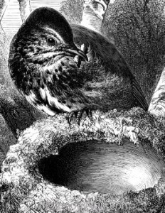 Detail: c1868 Song Thrush and Nest by Harrison Weir