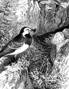 Detail: c1868 Wagtail and Nest by Harrison Weir