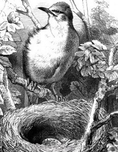 Detail: c1868 White-Throat and Nest by Harrison Weir