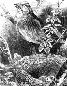 Detail: c1868 Yellow-Hammer and Nest by Harrison Weir