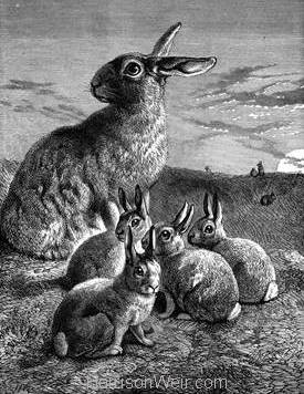 1891 Rabbit and Young by Harrison Weir