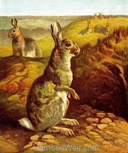 1877 The Rabbit by Harrison Weir