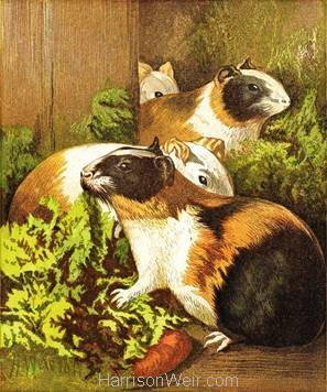 1877 Guinea Pigs by Harrison Weir